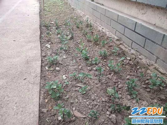 4.种下的蔬菜发芽了