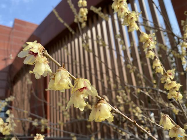 娇黄满枝春阳暖