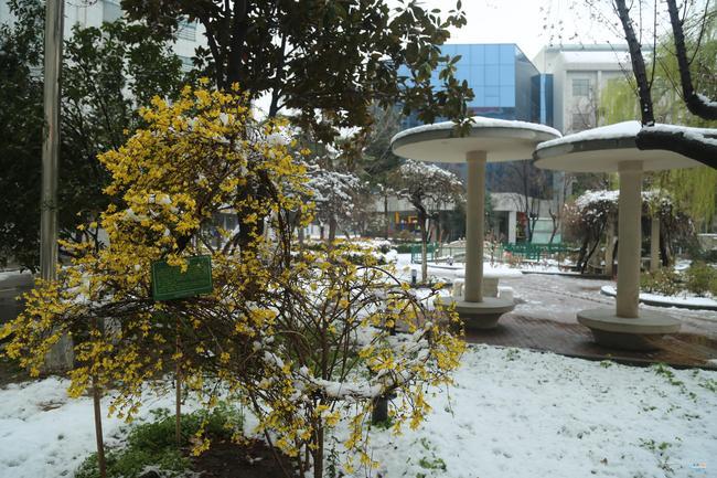 9校园连翘喜迎瑞雪